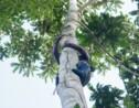 """Amazonie : la cueillette du """"wituk"""", un sport (très) périlleux"""