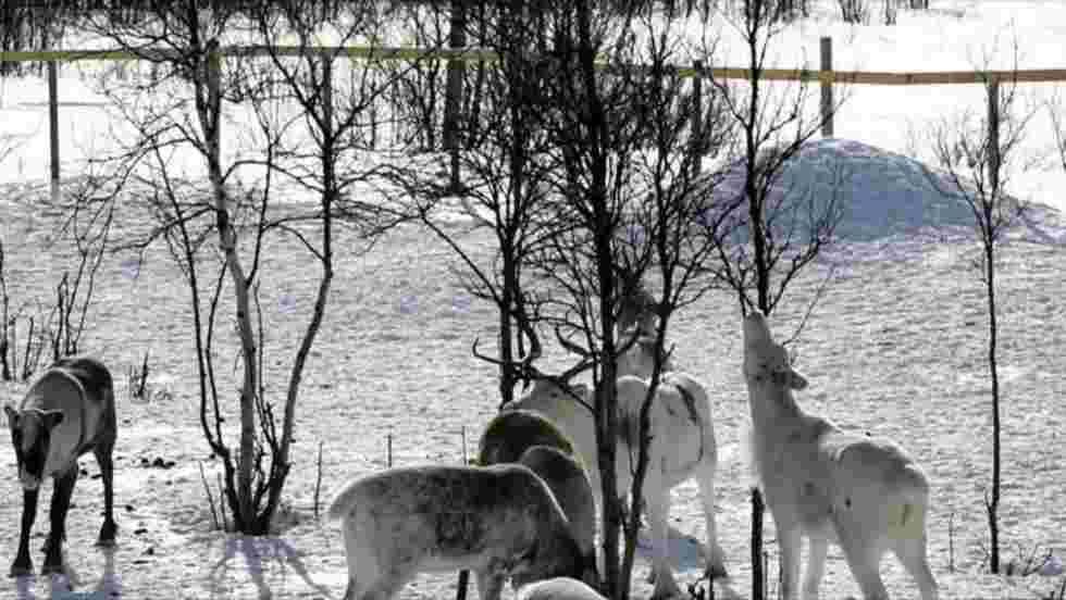 Au nord de la Norvège, la police des rennes fait régner l'ordre