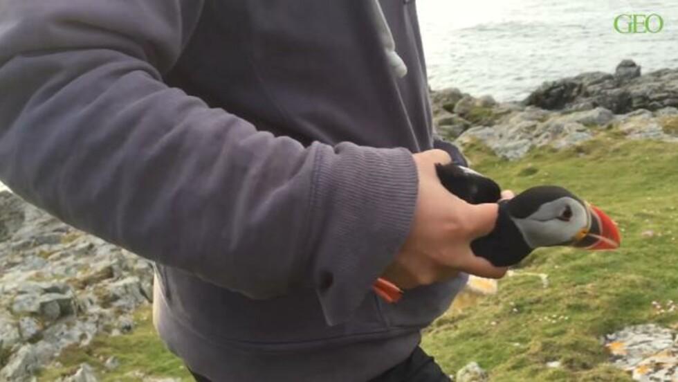À la rescousse des macareux moines de Fair Isle
