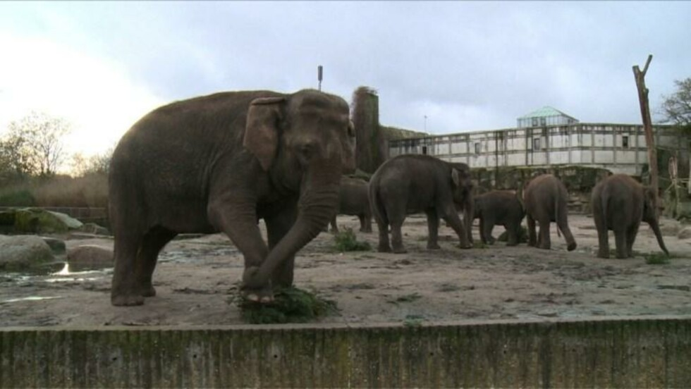 Festin de sapins de Noël pour les éléphants de Berlin