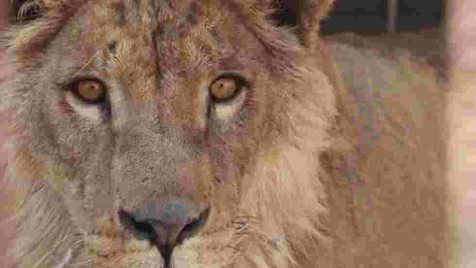 VIDÉO - Au secours des deux survivants du zoo de Mossoul