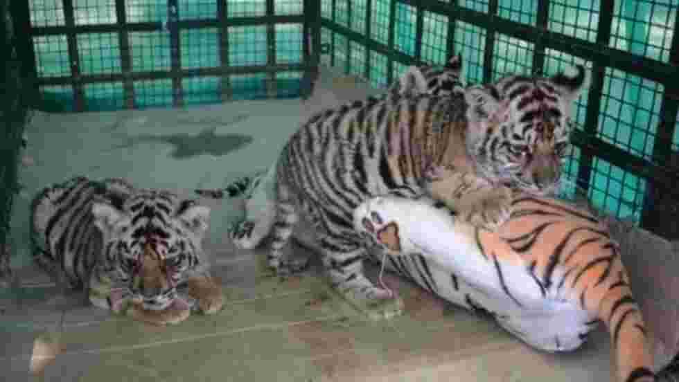 Inde: une drôle de mère de substitution pour bébés tigres