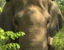 Indonésie: des cornacs à la rescousse des éléphants de Sumatra