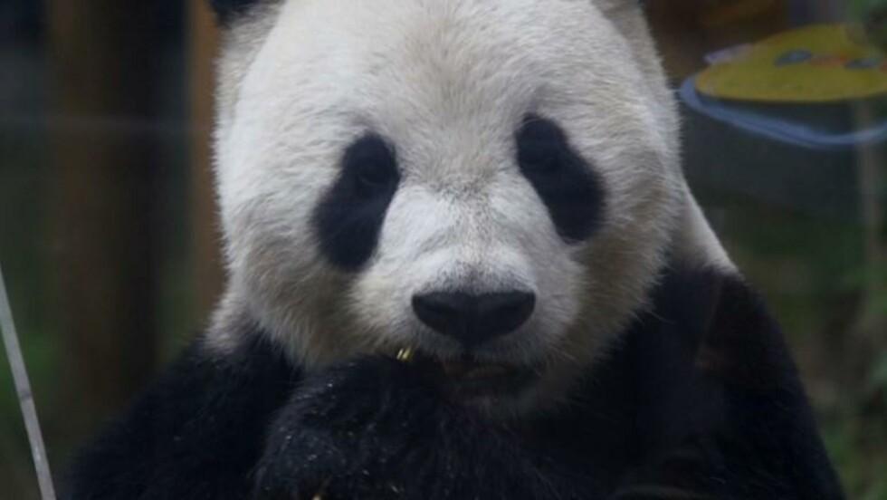 Japon : espoirs de bébé panda géant après un rare accouplement