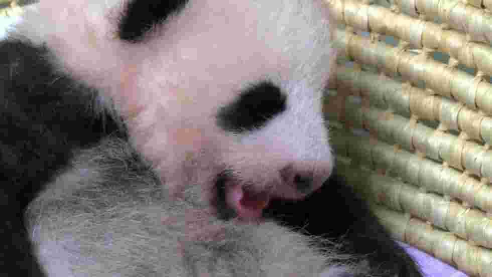 Japon: le bébé panda de Tokyo fête ses deux mois en pleine forme