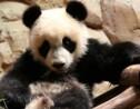 VIDÉO – Au zoo de Beauval, Yuan Meng le panda fête son premier anniversaire