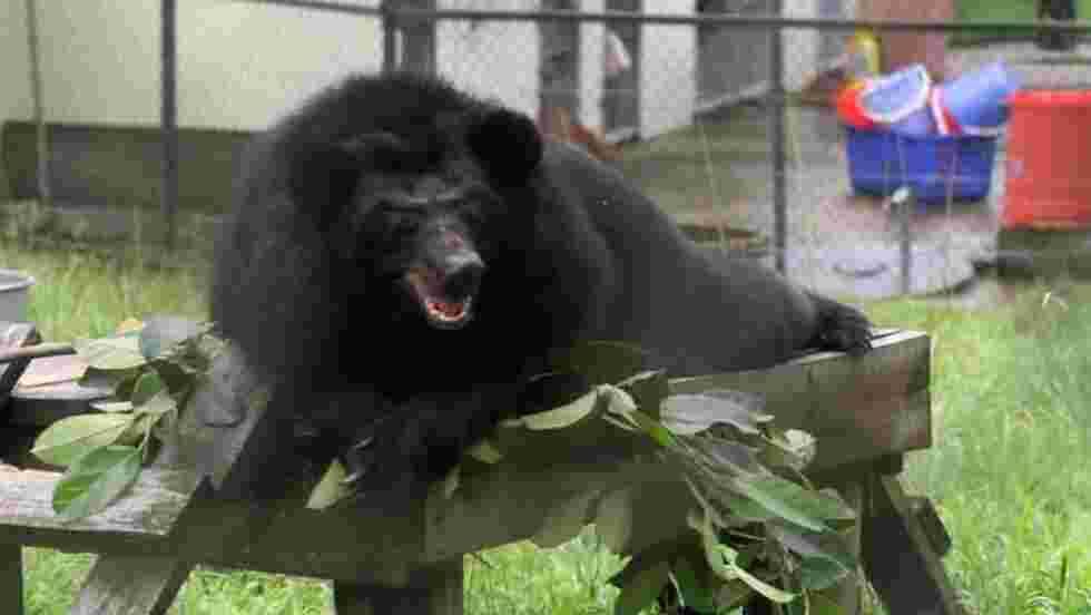 Le Vietnam va libérer 1.000 ours exploités pour leur bile