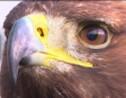 Les aigles, nouvelle arme anti-drone de l'armée de l'air