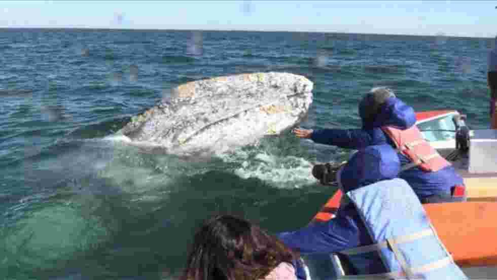 Les baleines grises face à une nouvelle menace