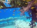 Les coraux de mer Rouge font de la résistance