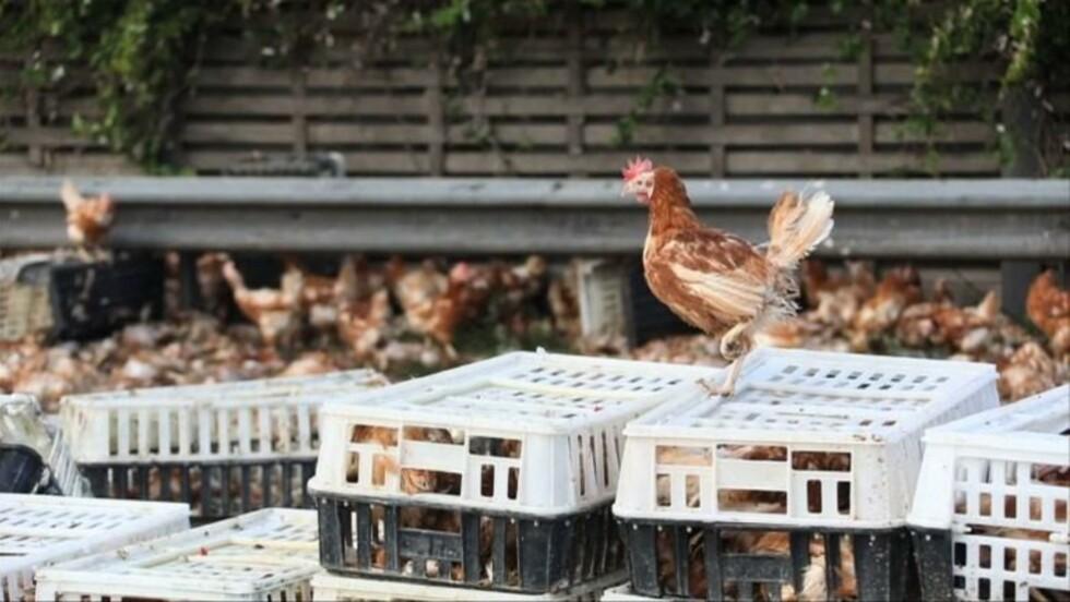 Liberté éphémère pour des milliers de poules sur une autoroute