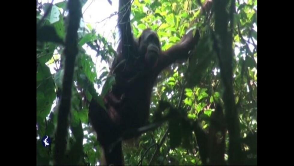 """VIDÉO - """"Pour sauver l'orang-outan, l'huile de palme doit être durable"""""""