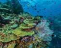 Pourquoi les coraux blanchissent-ils ?