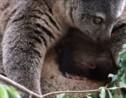 VIDÉO - Première naissance en captivité d'un ours Couscous en Pologne