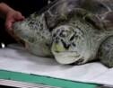 Thaïlande: une tortue opérée après avoir avalé 915 pièces