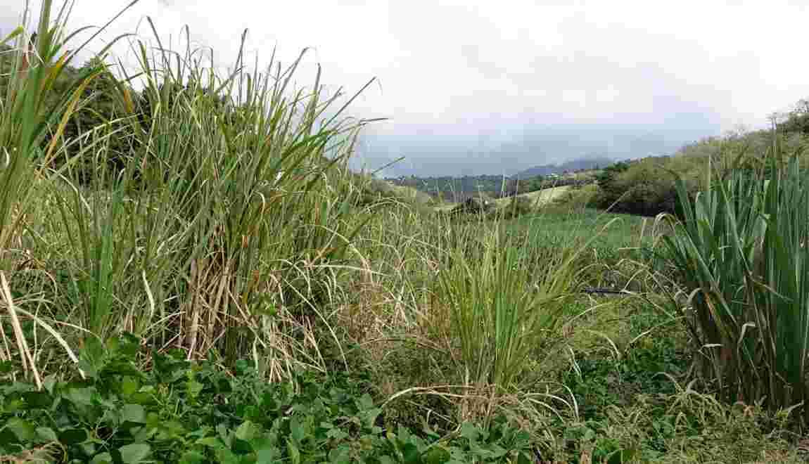 VIDÉO – Martinique : la canne à sucre de l'esclavage à nos jours