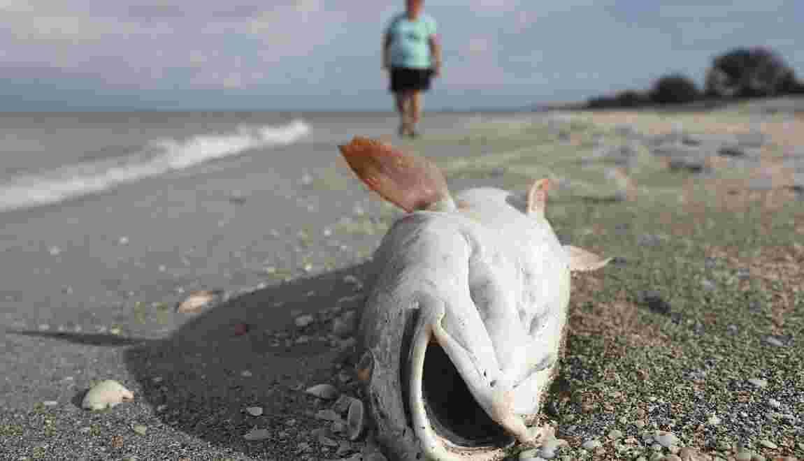 """Une """"marée rouge"""" décime la population aquatique de la côte ouest de la Floride"""