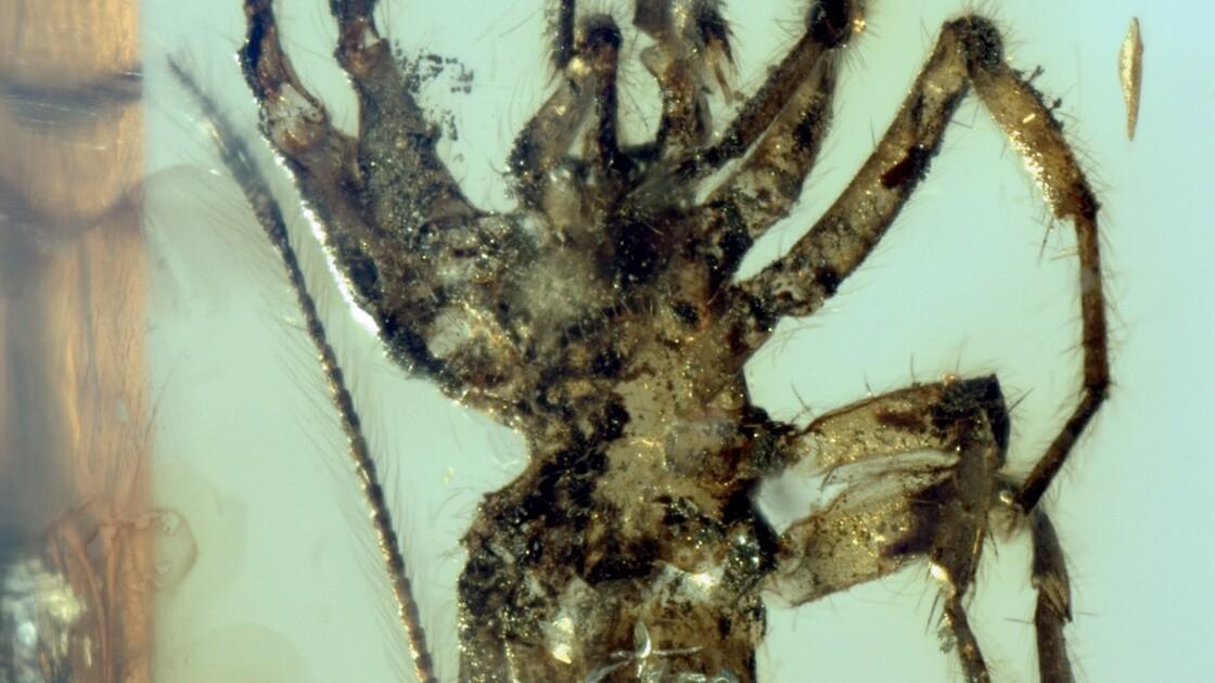 Il y a 100 millions d'années se promenaient des araignées à queue