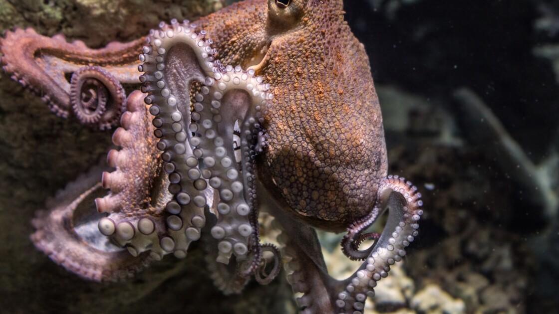 Pieuvre, poulpe, calamar: comment les différencier?