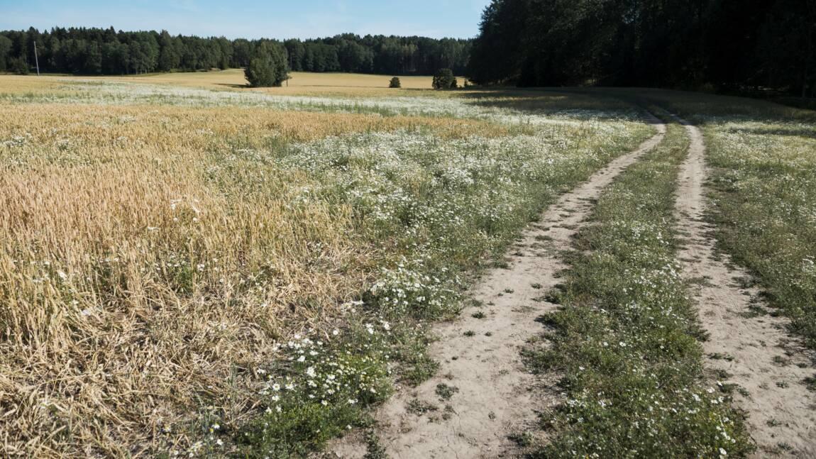 La détresse d'éleveurs suédois en proie à une sécheresse historique