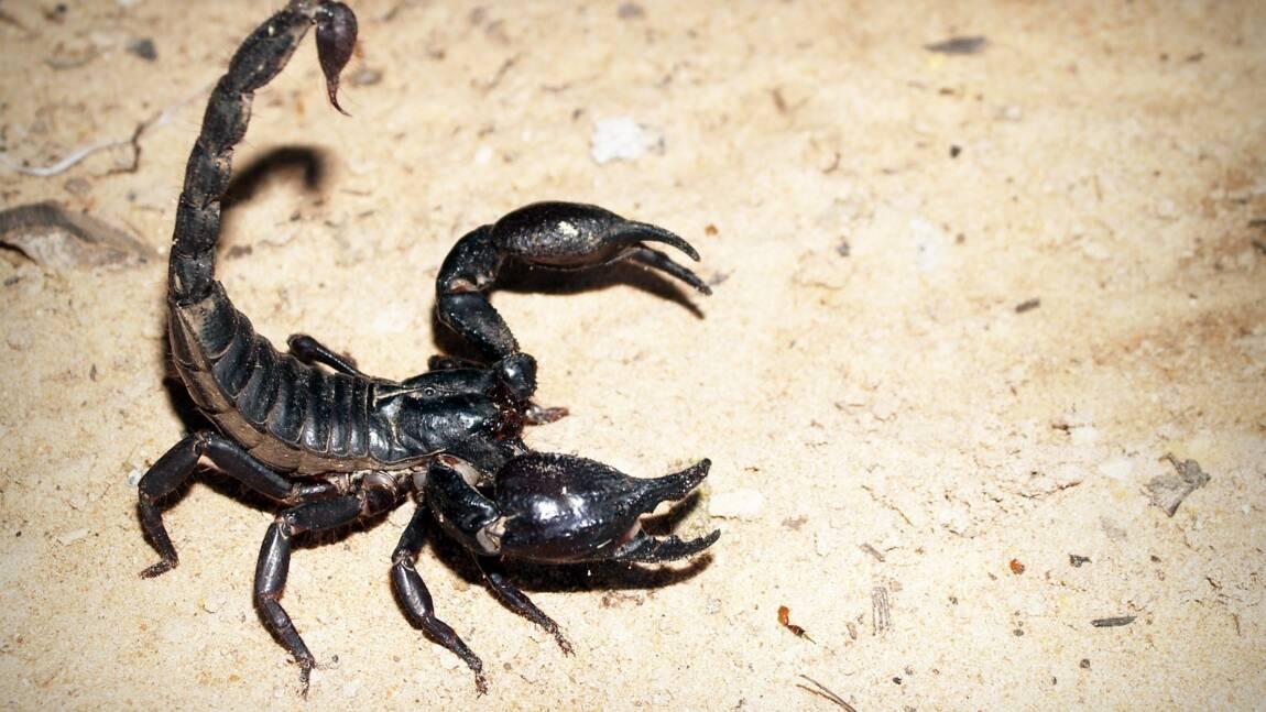 Les 5 infos insolites à savoir sur le scorpion
