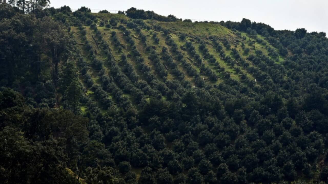"""Mexique: des forêts dévastées par la """"fièvre verte"""" de l'avocat"""