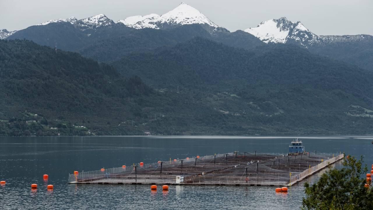"""Le Chili attaque un élevage de saumon norvégien pour """"falsification"""""""
