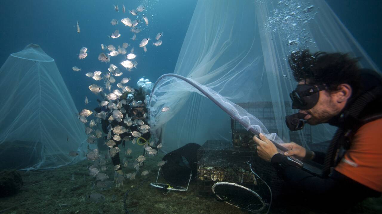 """Des nurseries sous l'eau pour """"repeupler la mer"""""""