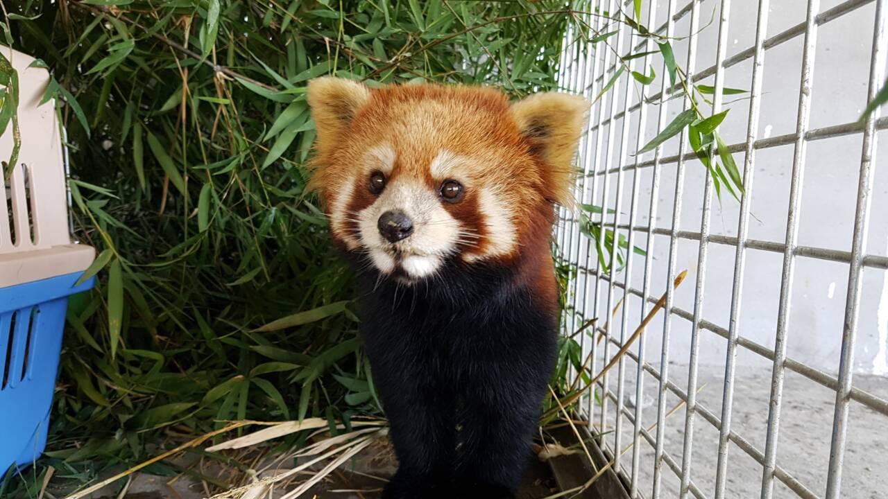 VIDÉO - Les pandas roux, nouvelles cibles des braconniers en Asie