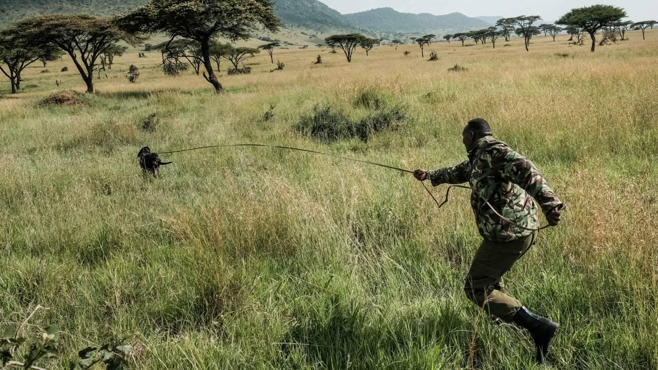 Braconnage : dans la savane kényane, le chien est le meilleur ami des animaux