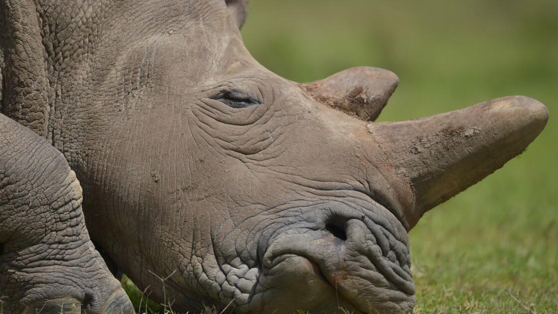 L'Afrique du Sud tente de bloquer une vente aux enchères de cornes de rhinocéros