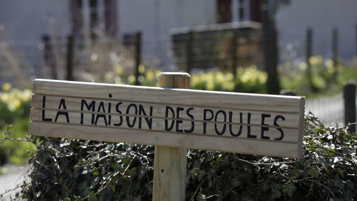 """En France, une """"maison de retraite"""" pour les poules sauvées de l'abattoir"""