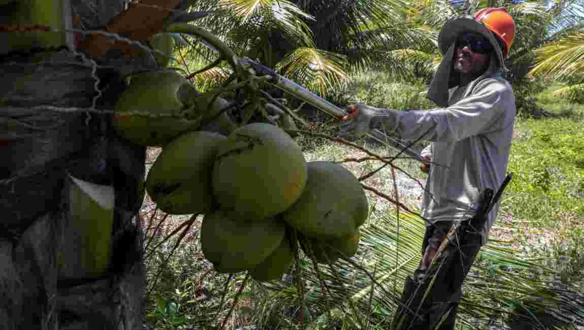 Brésil : désormais, tout est bon dans la noix de coco