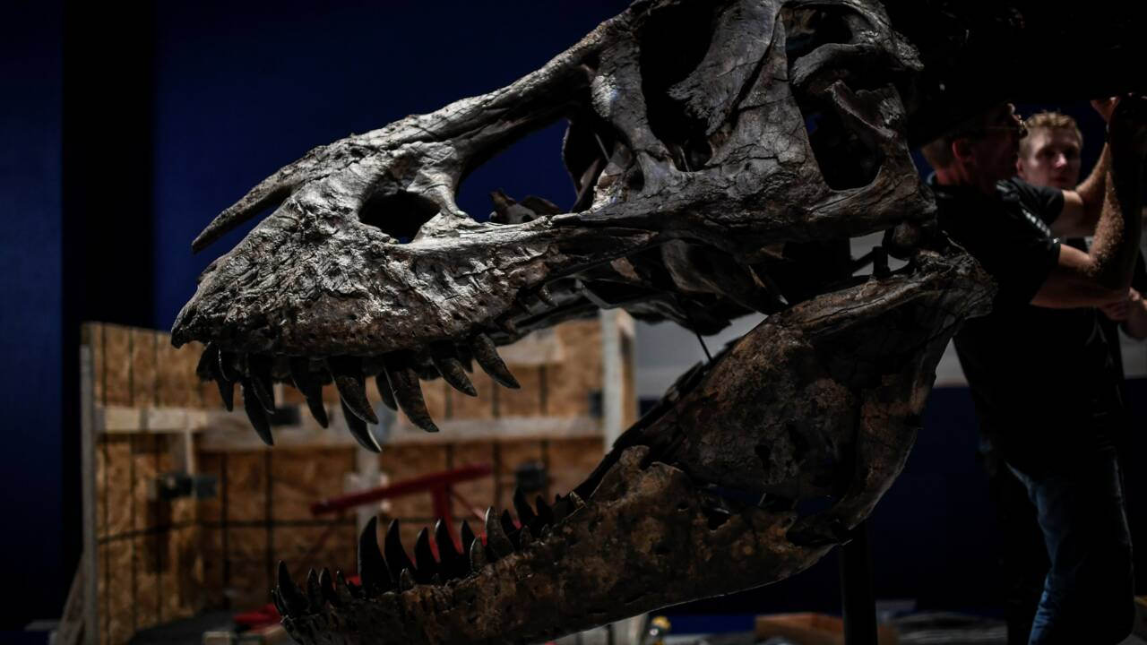 Un T.Rex pose sa carcasse au Jardin des Plantes à Paris