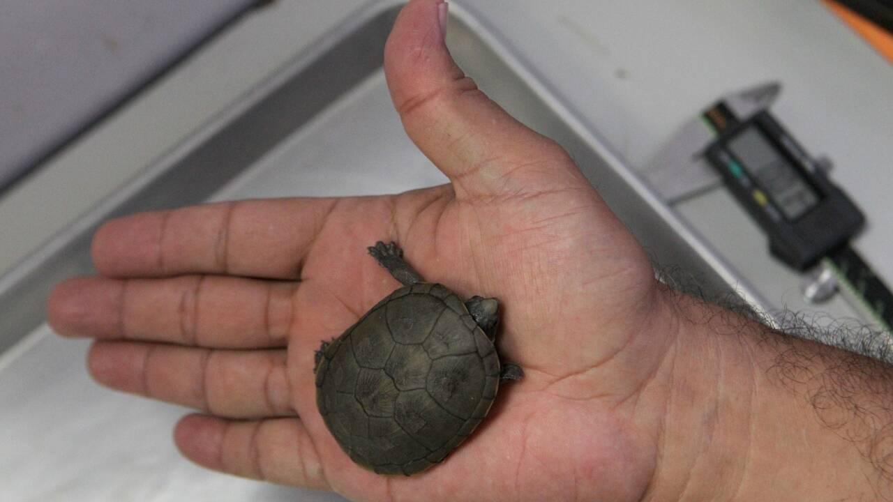 Découverte d'une nouvelle espèce de tortue au Mexique