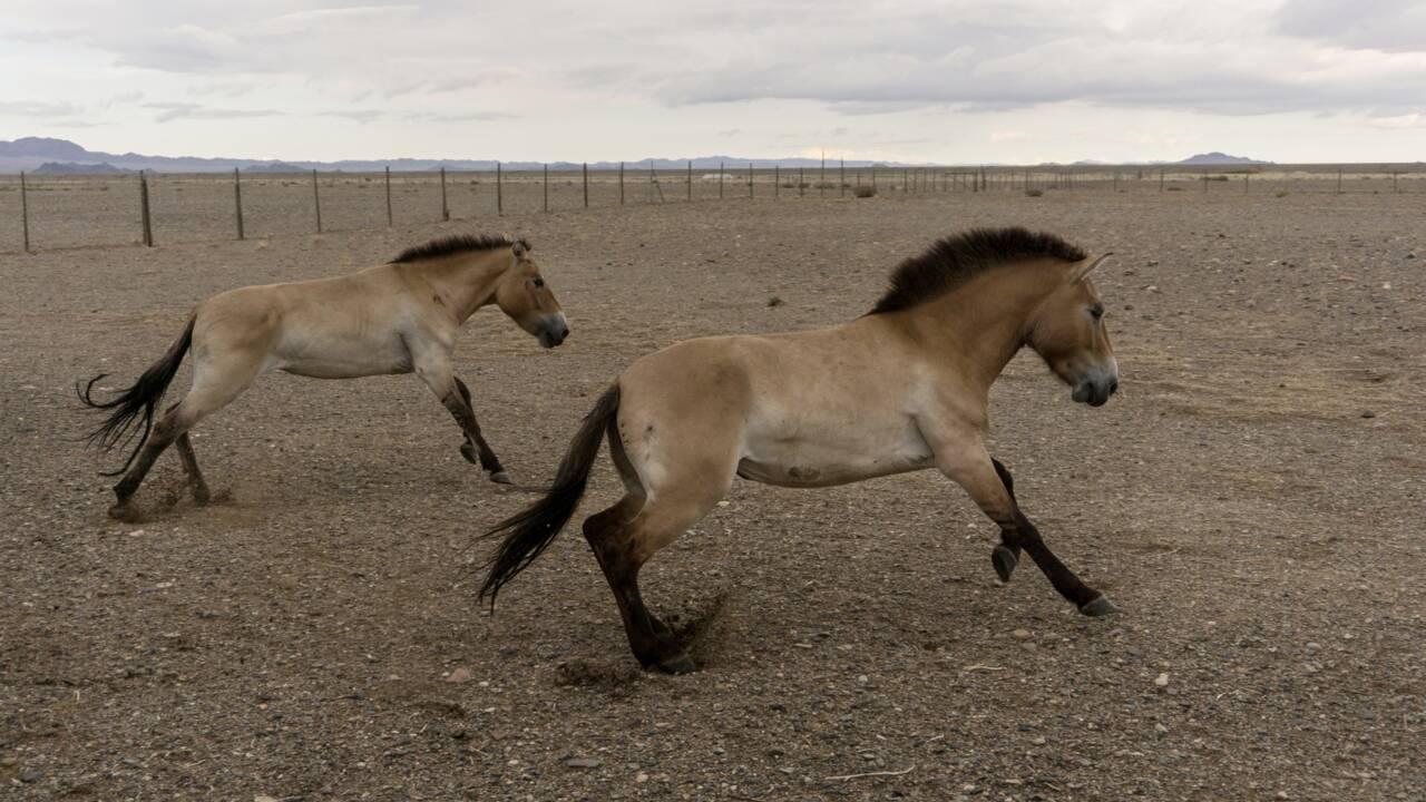 Le périple des chevaux de Przewalski vers la Mongolie, leur terre d'origine