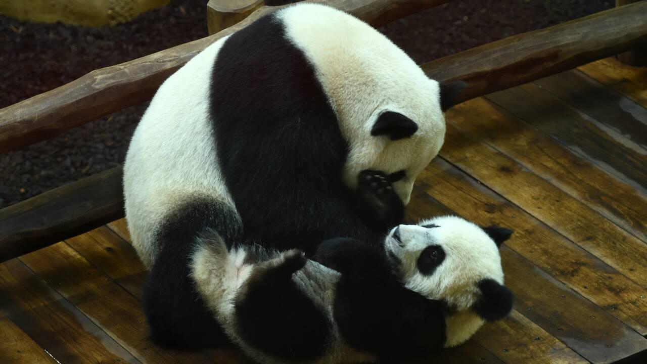 A Beauval, le bébé panda Yuan Meng fête son premier anniversaire avec ses fans