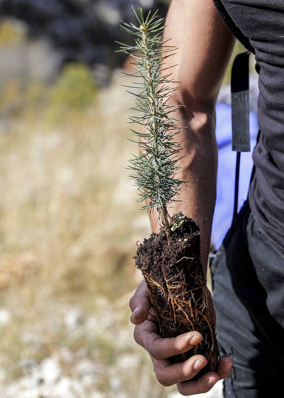 Liban : le cèdre, emblème du pays, menacé par le réchauffement climatique