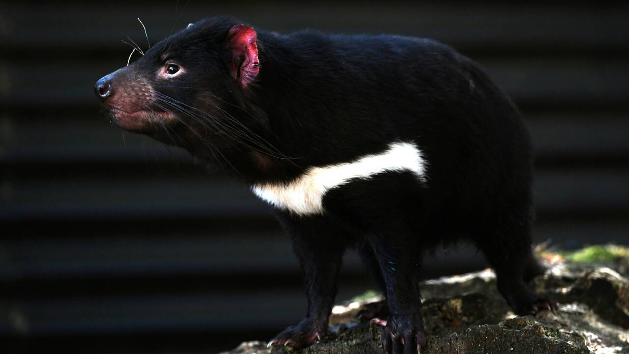 Décimé par une forme de cancer, la résistance inespérée du diable de Tasmanie