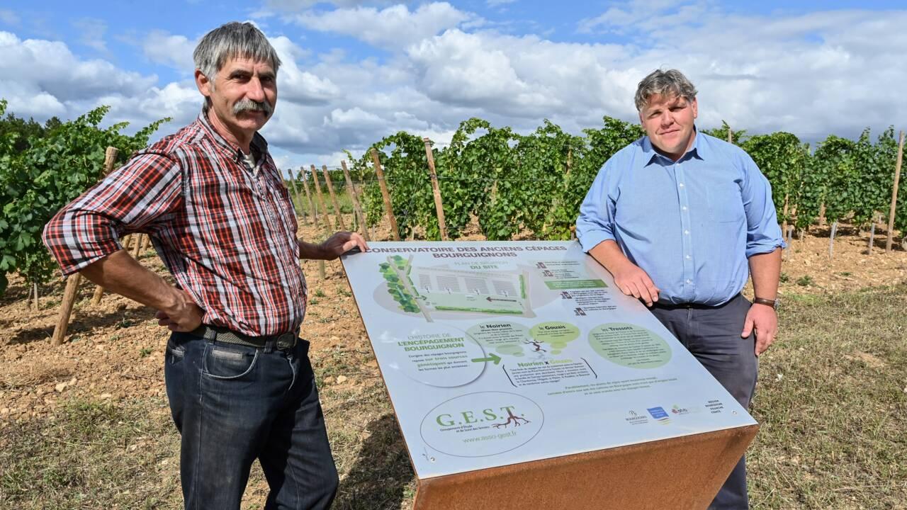 Des cépages anciens étudiés en Bourgogne pour anticiper le réchauffement