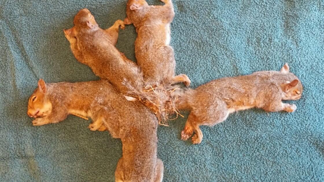 Emmêlés par leurs queues… des écureuils sauvés par une ONG américaine