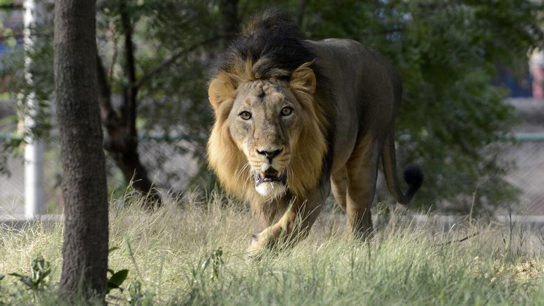 Inde: enquête sur la mort de 12 lions asiatiques