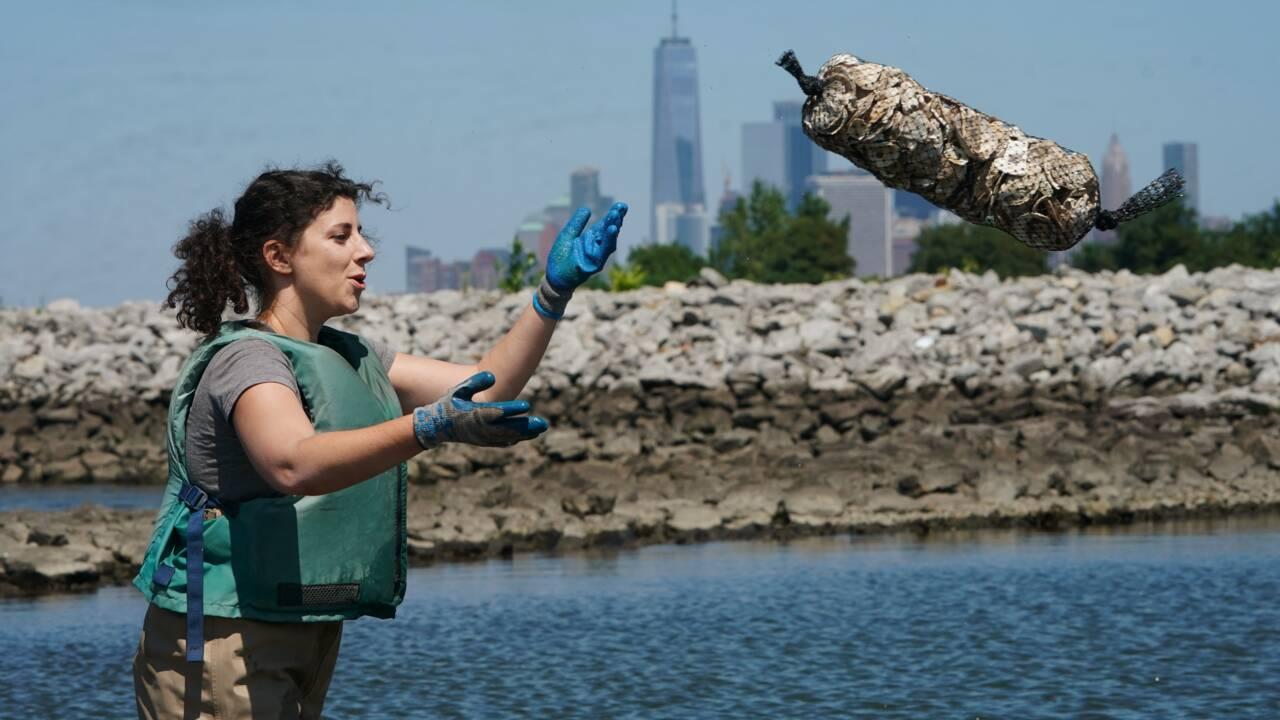 New York, paradis à huîtres en reconstruction