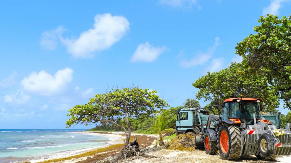 Sargasses, des solutions contre cette algue qui envahit les Antilles ?