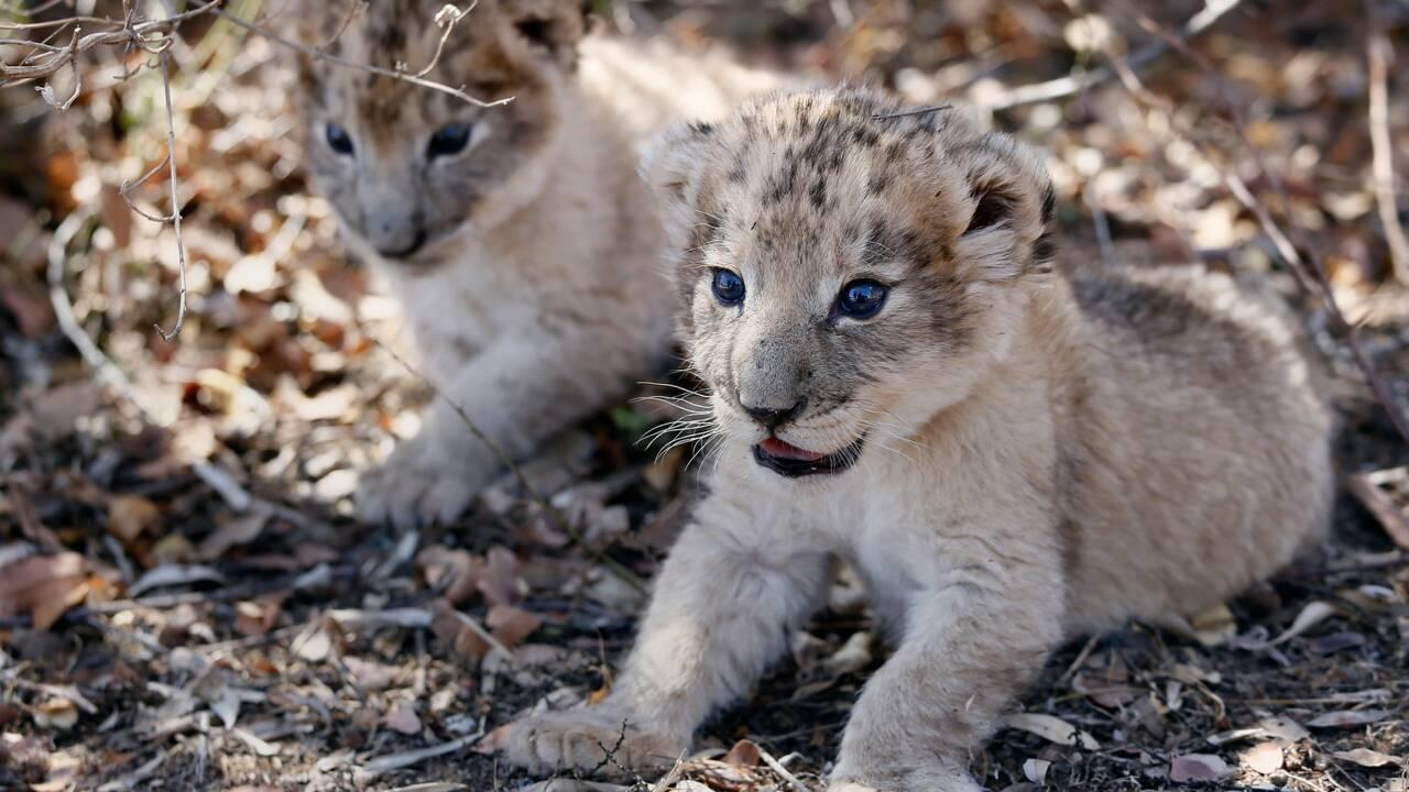 Naissance en Afrique du Sud des premiers lions-éprouvette