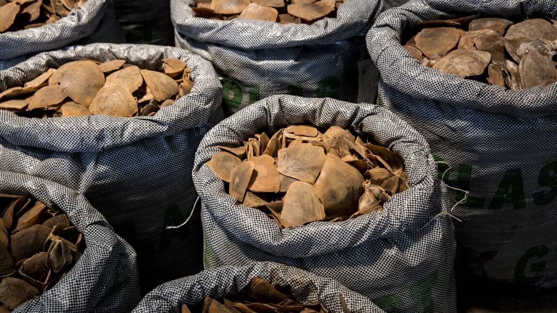 Vietnam: saisie de huit tonnes d'ivoire et d'écailles de pangolin