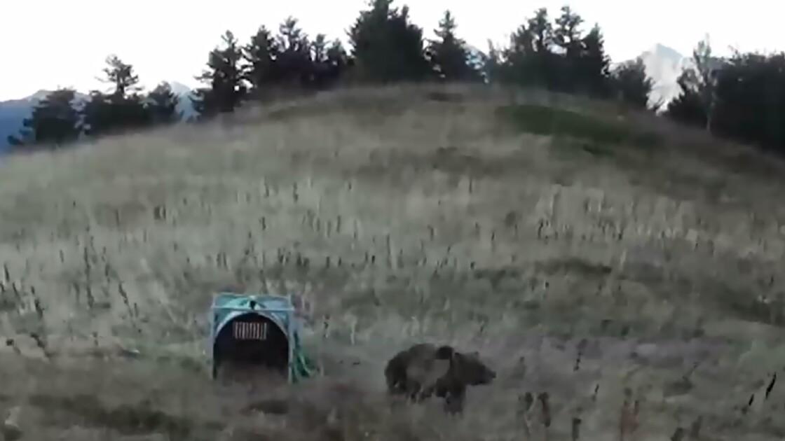 Ourses relâchées en France: pas certain qu'elles attendent des petits, selon l'ONCFS