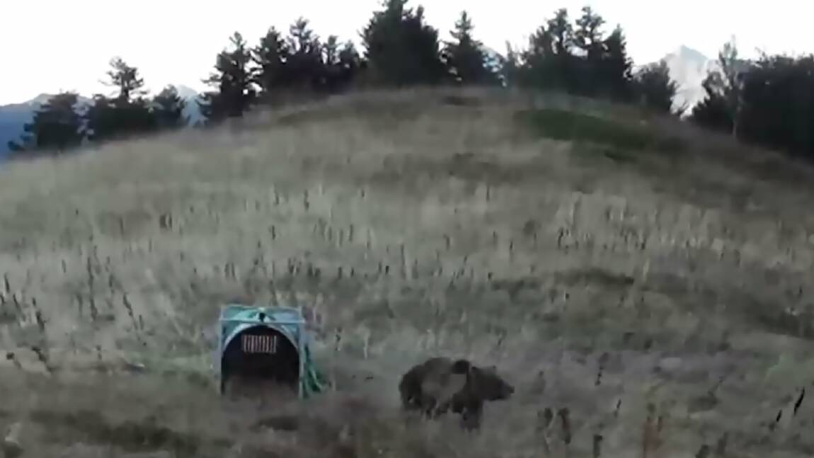 Le suivi des ours renforcé dans les Pyrénées après l'attaque de brebis
