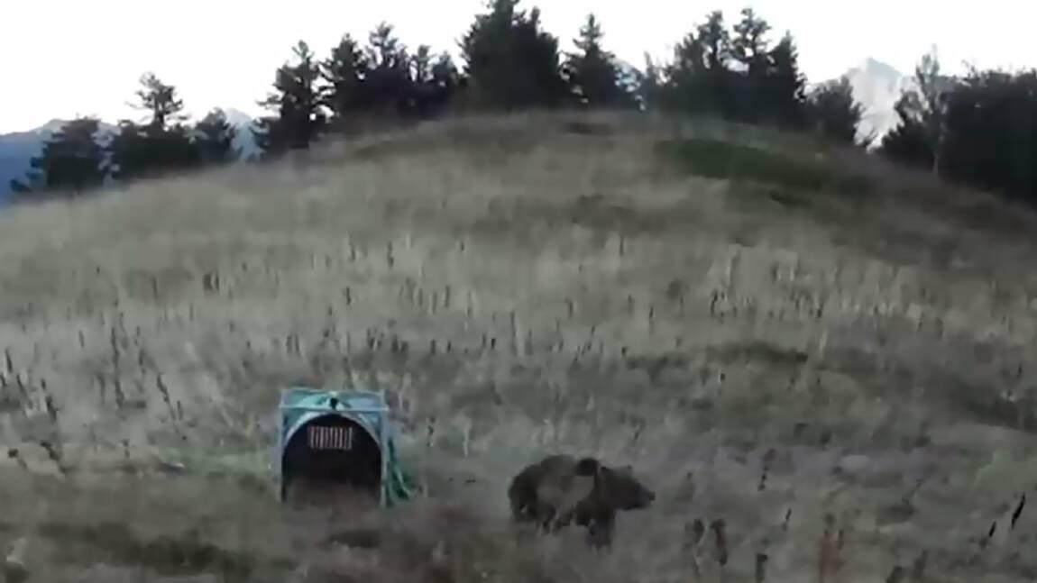 L'ourse slovène Sorita mère de deux oursons dans les Pyrénées