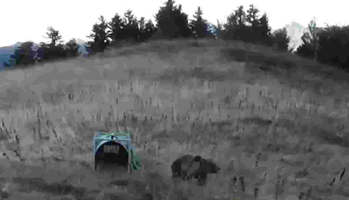 Première attaque en France d'une ourse lâchée en octobre